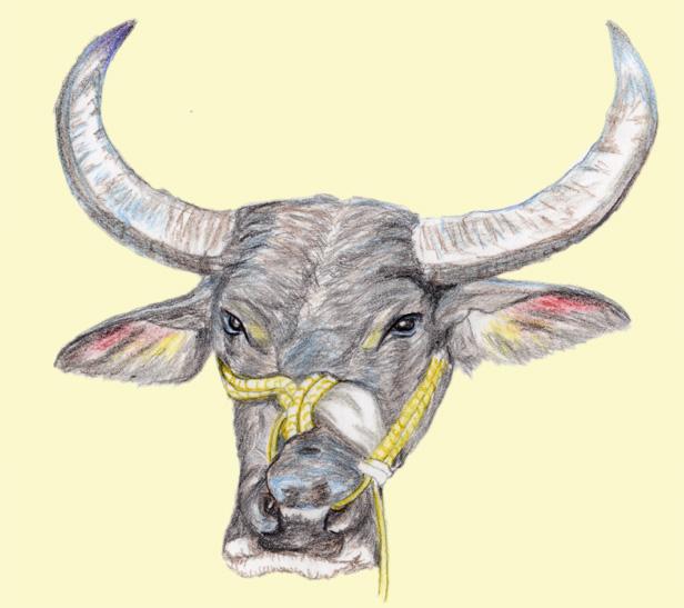 water-buffalo-2