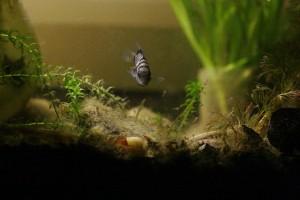 右下方的校小魚吃魚缸的青苔