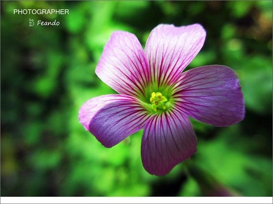 花為紫紅色喇叭狀,雄蕊十枚五長五短。