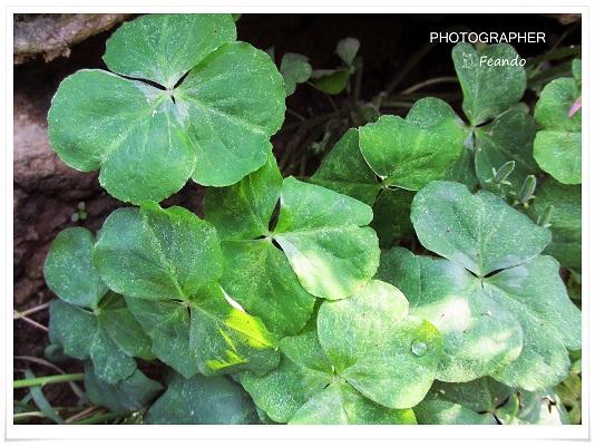 葉為濃綠三出複葉。